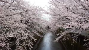 石神井川・桜=(1)