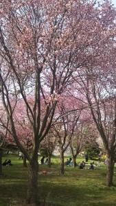 札幌市郊外のモエレ沼の桜