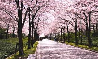 ③夙川の桜